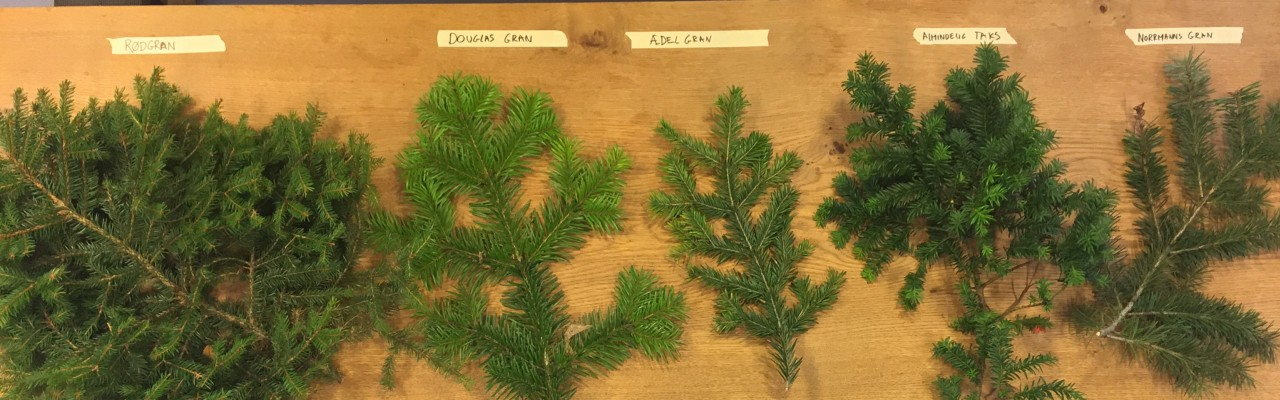 Forskellige gran-sorter fra de danske skove. De to til venstre kan spises. Taks og normannsgran skal du undgå. Foto: Mathias Skovmand-Larsen